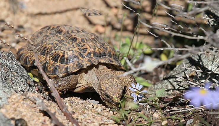 капская крапчатая плоская черепаха фото