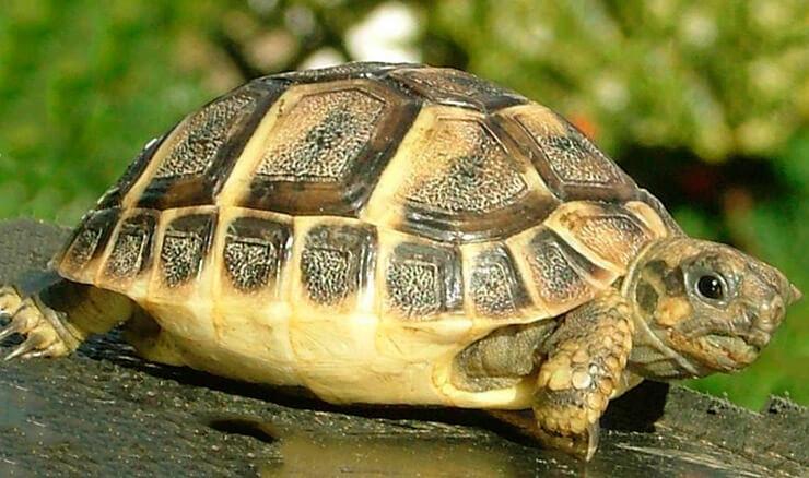 Самая маленькая черепаха в мире фото
