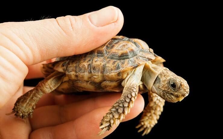 Фото капская крапчатой плоской черепахи