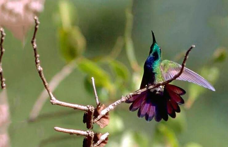 Фото колибри-манго