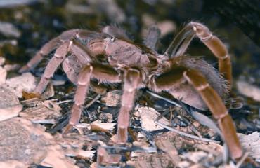 Паук-бабуин, или королевский бабуиновый паук