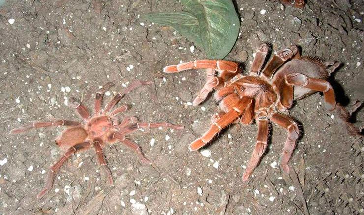 королевский бабуиновый паук фото