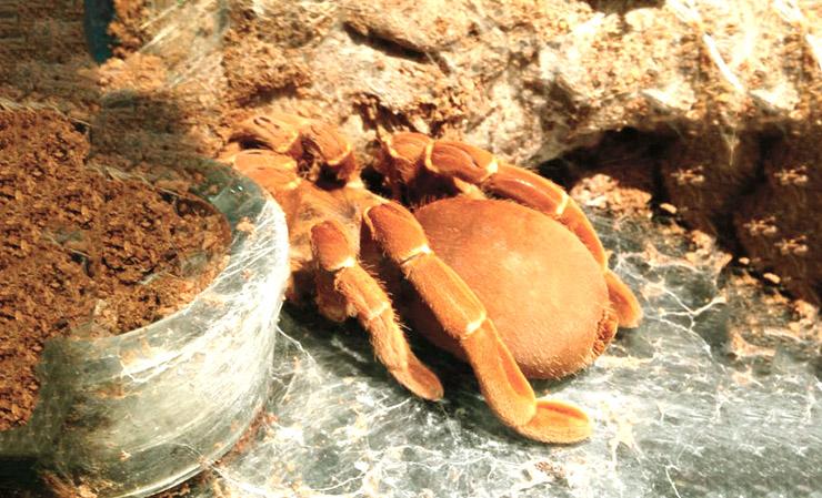 Фото королевского бабуинового паука