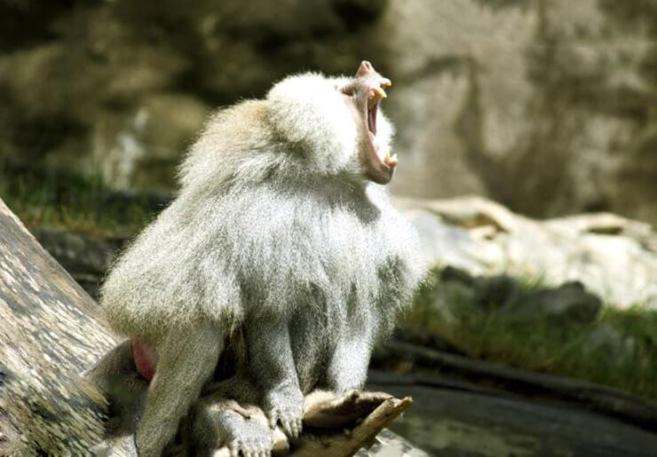 Фото плащеносного павиана