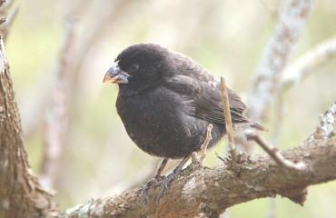 Птица-вампир, или остроклювый земляной вьюрок