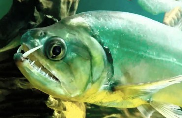 Рыба-вампир, или скумбриевидный гидролик