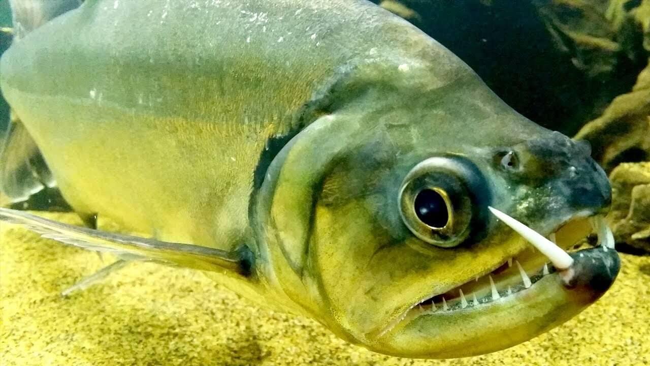 Рыба-вампир фото