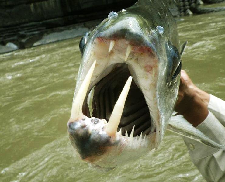 Фото рыбы-вампира