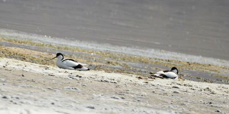 Фото Recurvirostra avosetta