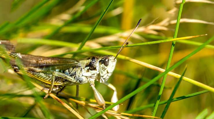 Фото Gomphocerus sibiricus