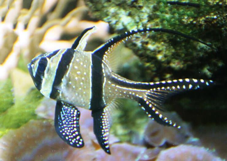 Фото Pterapogon kauderni