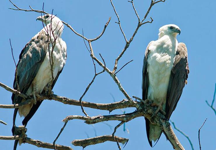 Фото белобрюхого орлана