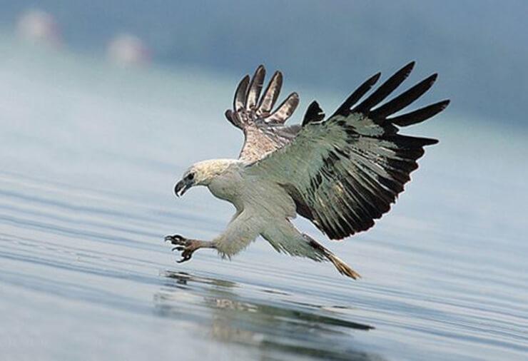 Картинка с белобрюхим орланом