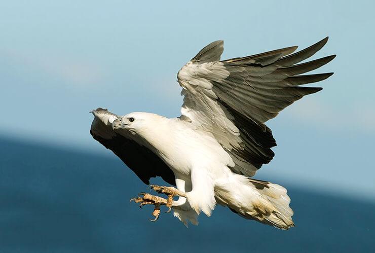 Белобрюхий орлан фото