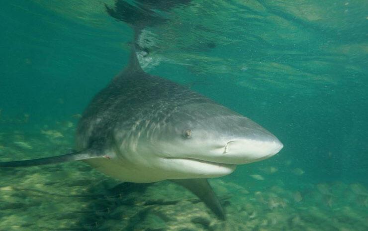 Фото гренландской полярной акулы