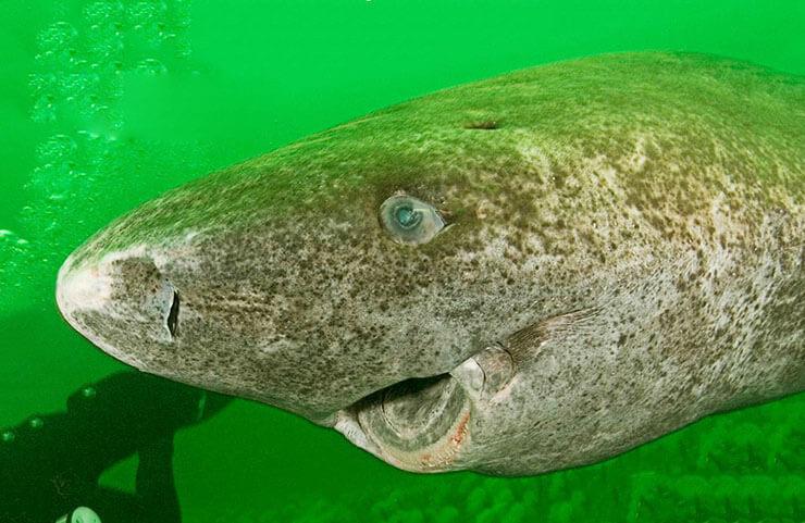 Гренландская полярная акула фото