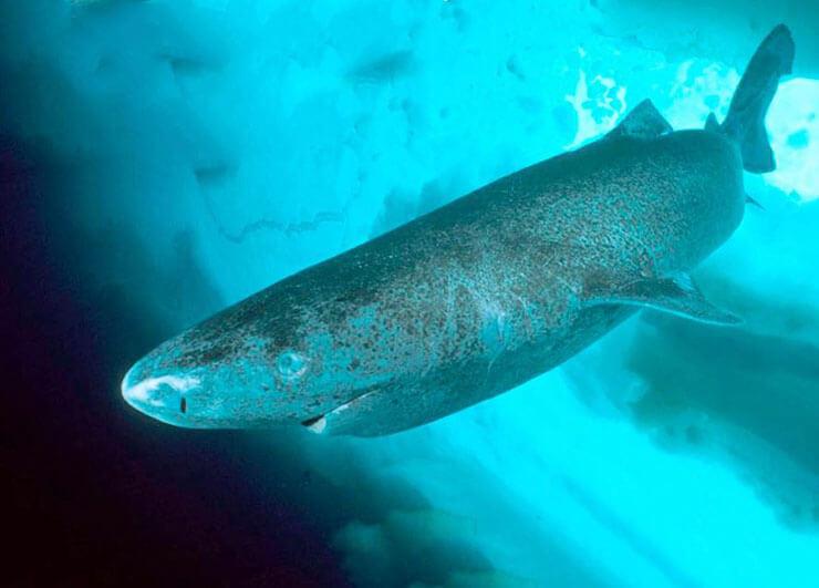Картинка с гренландской полярной акулой