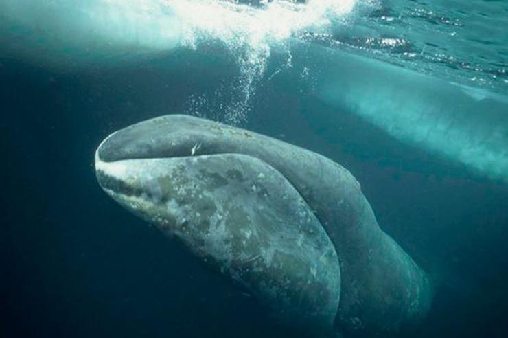 Картинка с полярным китом