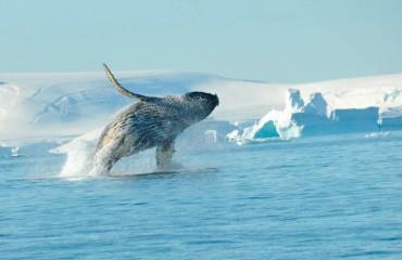 Ґренландський або полярний кит