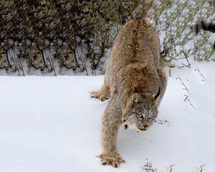 Канадская рысь фото