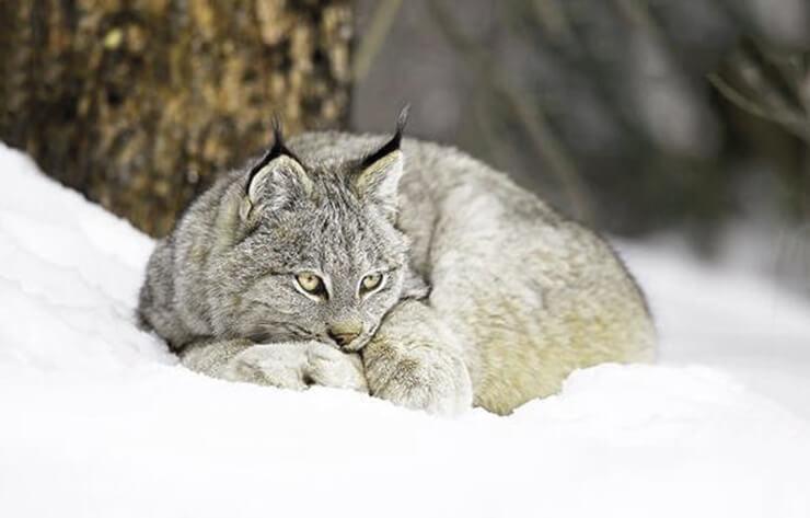 Фото Lynx Canadensis
