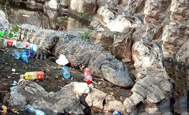 Китайский аллигатор фото