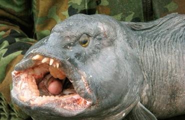 Полосатая зубатка, или морской волк