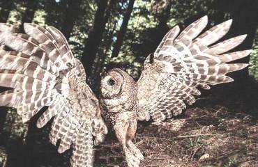 Пятнистая сова, или пятнистая неясыть