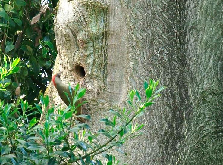 Фото зеленого дятла