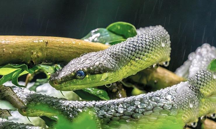 Зеленый полоз фото