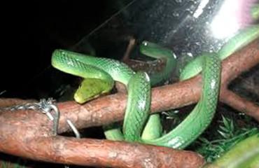 Зеленый или смарагдовый полоз