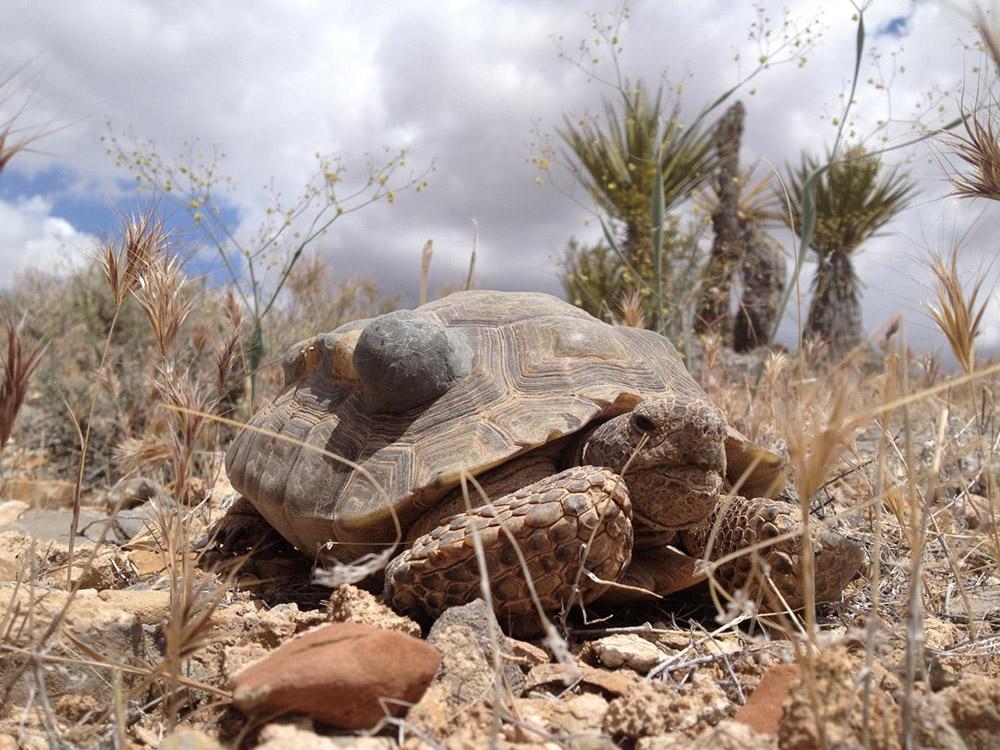 Черепаха-гофер фото