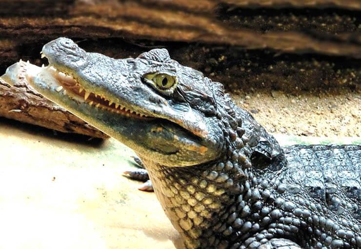 Фото Melanosuchus niger