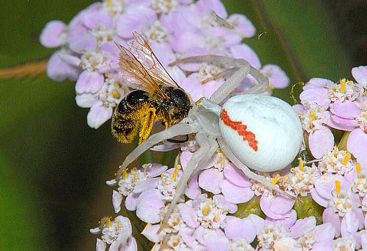 Цветочный паук фото