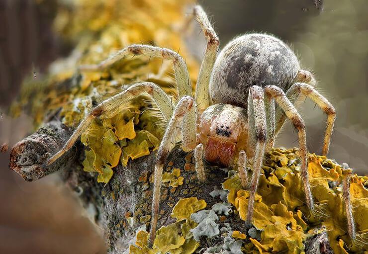 Лабиринтовый паук фото