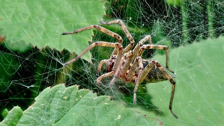 Фото лабиринтового паука