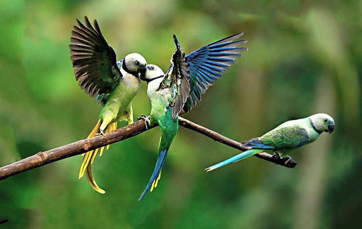 Малабарский кольчатый попугай фото