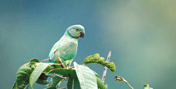 Фото малабарского кольчатого попугая