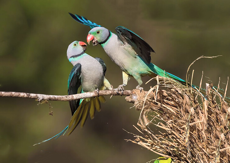 Фото попугая малабарского кольчатого