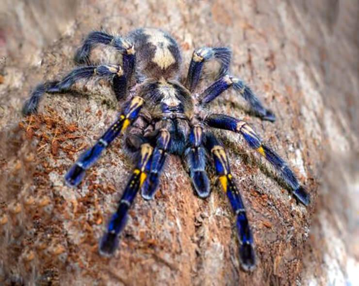 Синий паук фото