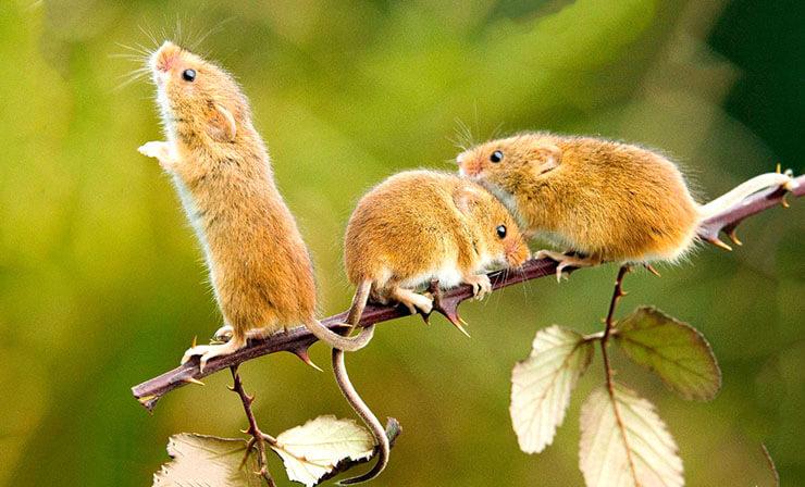 Фото мыши-малютки