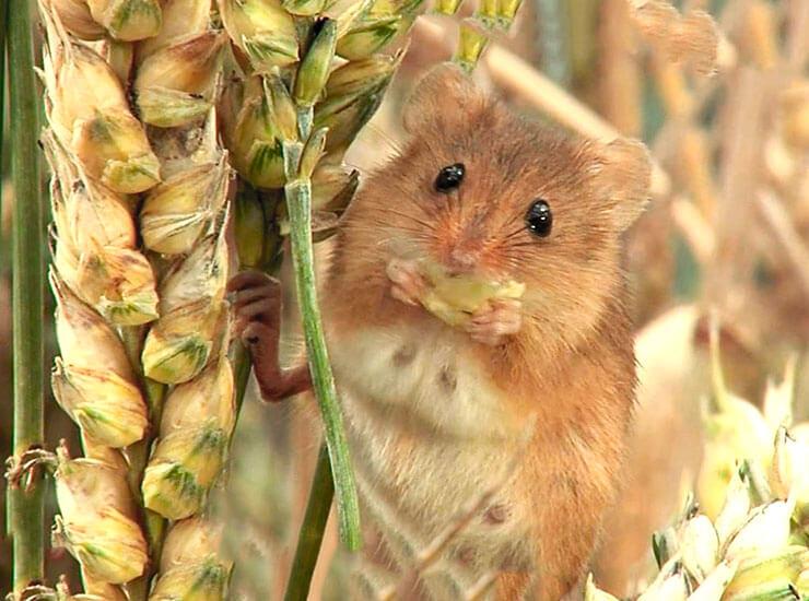 Картинка с мышью-малюткой