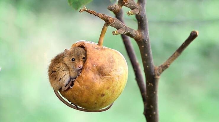 Мышь-малютка фото