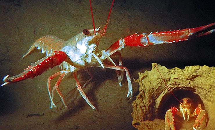 Норвежский омар фото