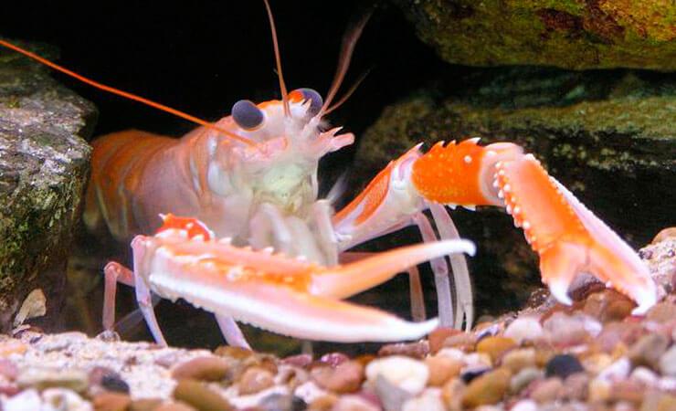 Фото норвежского омара