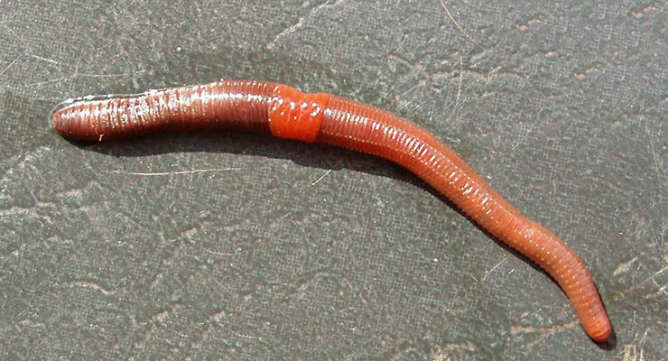 Фото дождевого червя обыкновенного