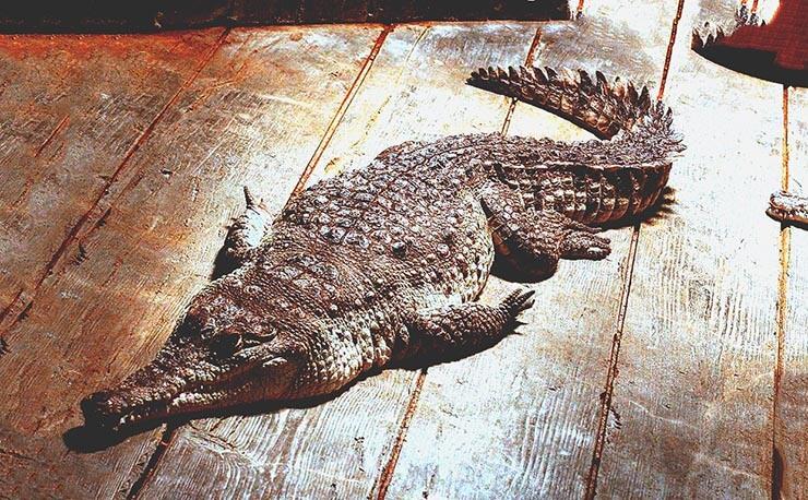 Картинка с крокодилом оринокским