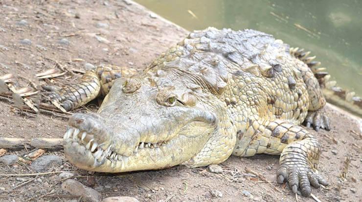 Картинка с оринокским крокодилом