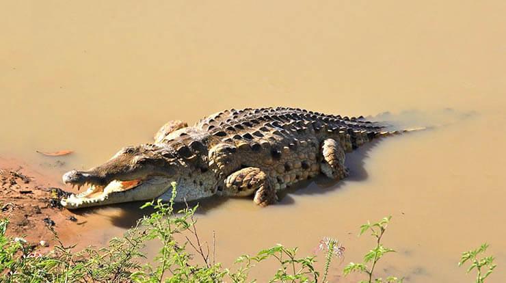 Фото крокодила оринокского