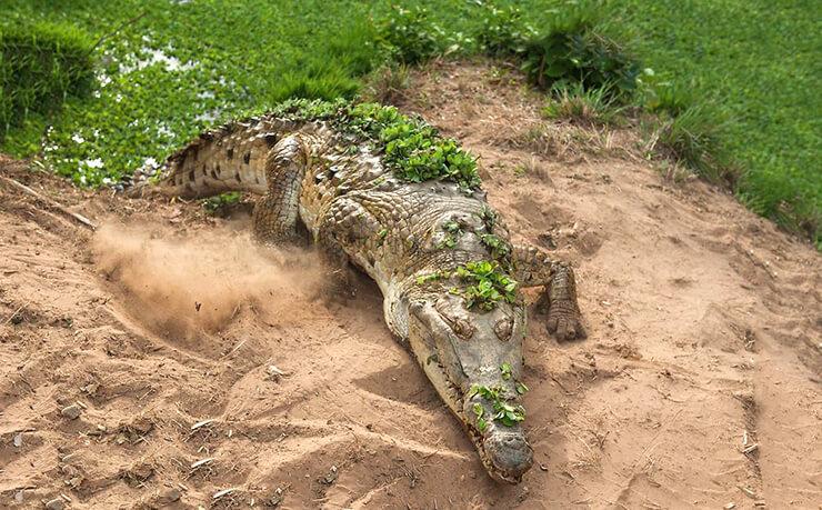 Оринокский крокодил фото
